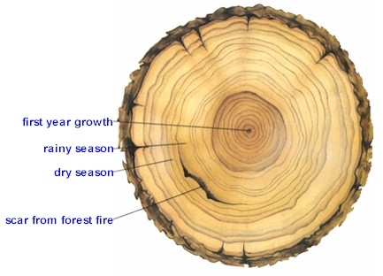 Meaning how do you say that tree rings are will be What is the meaning of tree