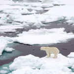 sea_ice_polar_bear_from_NASA_earth_observatory-150x150