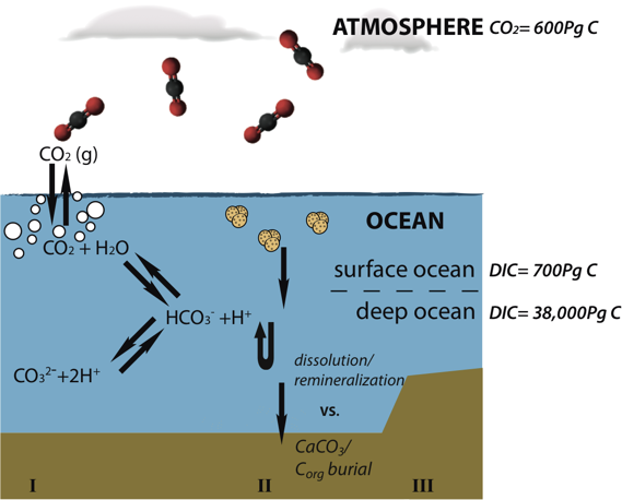 Ocean Acidification And The Short Term Marine Carbon